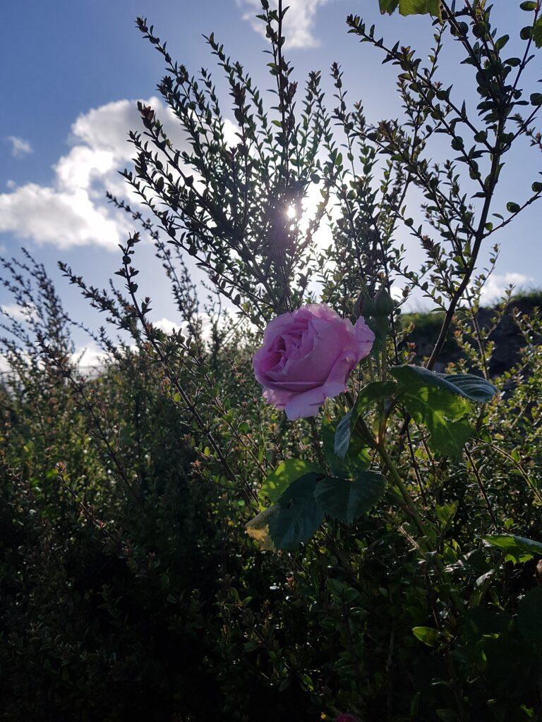 Rose Image_LmcD